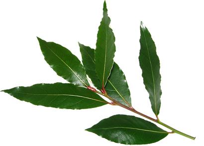 Laurier sauce feuilles s ch es laurus nobilis - Ou planter un laurier rose ...
